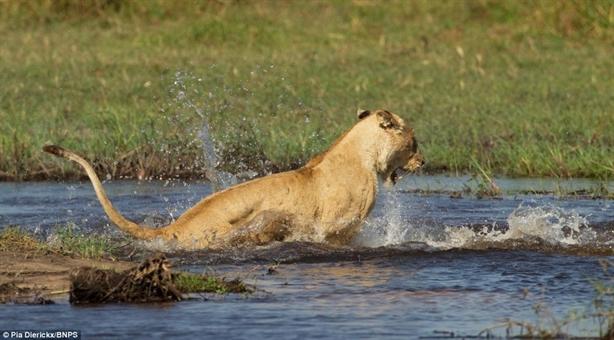 Dưới nước, cá sấu là kẻ ăn thịt số một nên sư tử mẹ phải rất dũng cảm mới chọn cách đối đầu cho đàn con tranh thủ vượt sông.