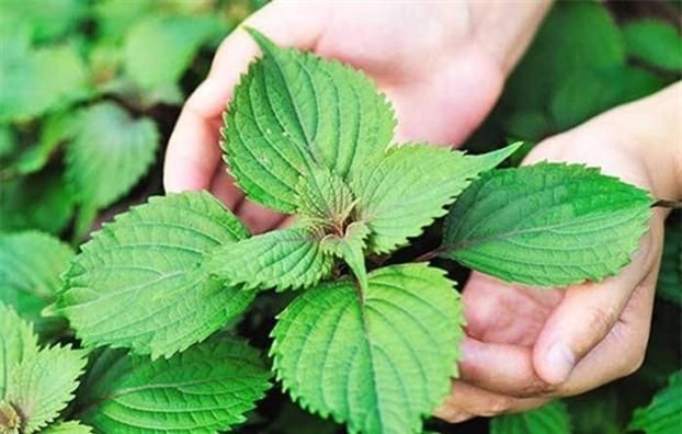 20 loại cây vừa là rau vừa là thuốc chữa bệnh vặt cực tốt, nhà có trẻ con càng cần phải có