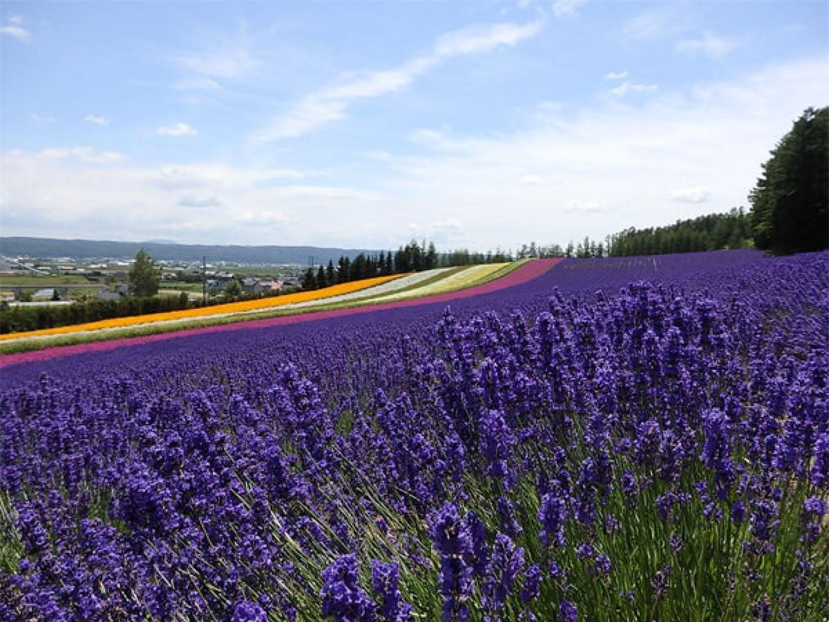 """Thành phố Furano – """"Thánh địa hoa oải hương"""" nằm ở trung tâm Hokkaido. Nơi đây đẹp nhất vào tháng 7, tháng 8 - thời điểm cánh đồng hoa oải hương tím ngắt và các loài hoa khác đua nở."""