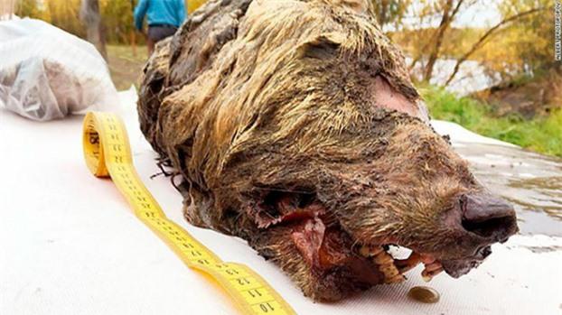 Đầu của một con sói cổ đại, có đủ răng, lông, và còn nguyên vẹn 40.000 năm qua trong lớp đất đóng băng quanh năm, vừa được phát hiện ở miền đông Siberia (Ảnh: Albert Protopopov)