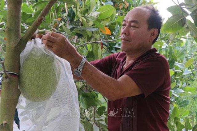 Chăm sóc vườn mít Thái ở ấp 5, xã Mỹ Thành Nam.