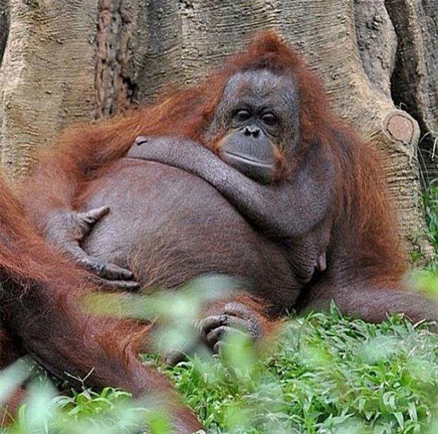 21 bức ảnh động vật khi mang bầu, 'quạu thì có quạu' nhưng vẫn dễ thương hết nấc 2
