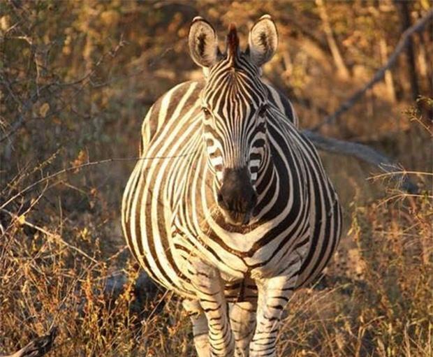 21 bức ảnh động vật khi mang bầu, 'quạu thì có quạu' nhưng vẫn dễ thương hết nấc 4