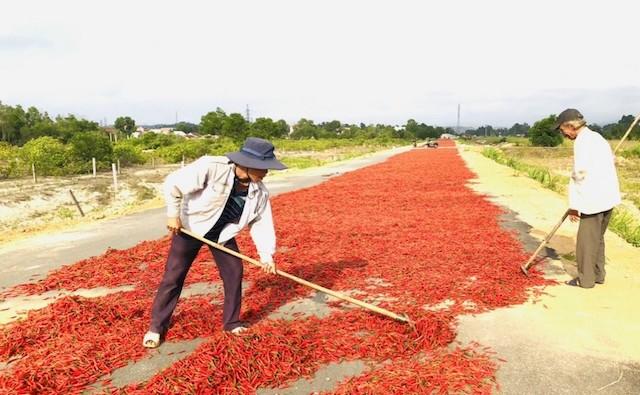 """Quảng Ngãi: Ruộng ớt chín đỏ bị bỏ mặc, mắt người nông dân """"cay xè""""!"""
