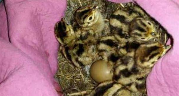 Nhặt được ổ trứng mang về cho gà nhà ấp, một tuần sau, người phụ nữ không khỏi phiền não khi trứng nở ra những con vật này - Ảnh 2.