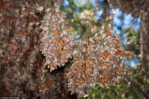 Choáng ngợp trước khung cảnh thần tiên khi bướm vua di cư ở Bắc Mỹ