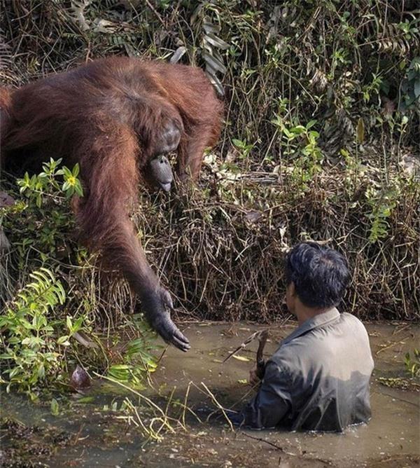 Người đàn ông đang dọn sạch khu vực rừng bảo tồn với sự giúp đỡ của một con đười ươi.