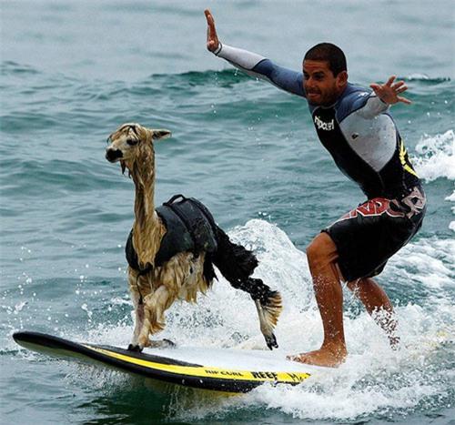 Với một số loài động vật môn thể thao lướt ván chỉ là chuyện nhỏ.