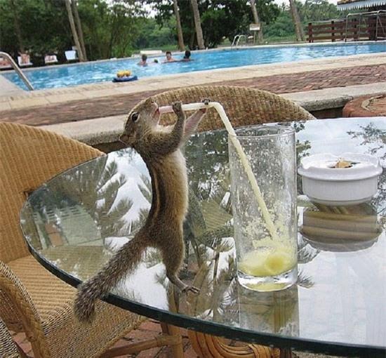 Sóc chuột cũng rất lịch sự, uống bằng ống hút như con người.