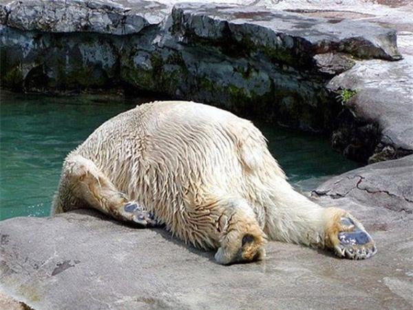 Có lẽ chú gấu này đã quẩy một đêm nhiệt tình nên buổi sáng mới mệt mỏi thế này