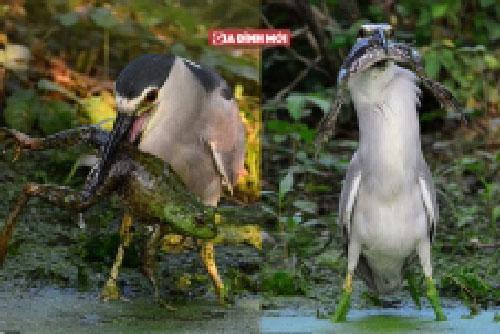 Chú chim tham lam định nuốt sống con ếch nhưng mắc nghẹn vì mồi quá to