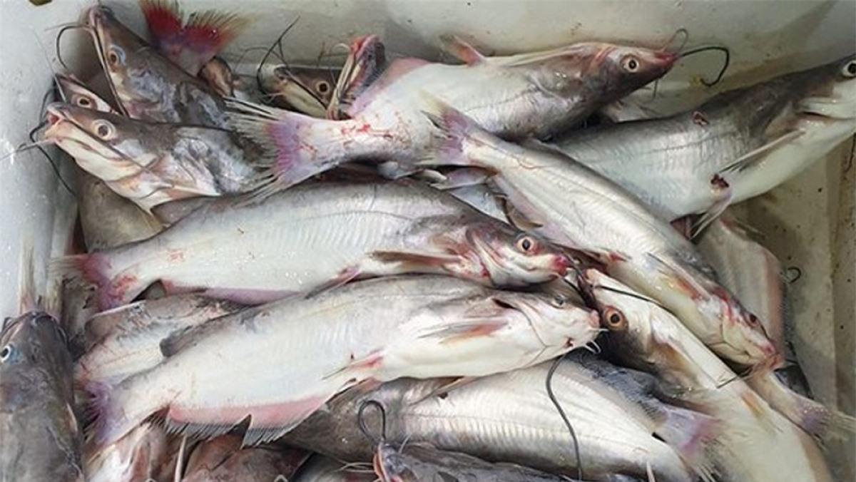 Cá ngạnh sông Đà ngày càng hiếm nên giá khá đắt đỏ, tới nửa triệu đồng mỗi kg.