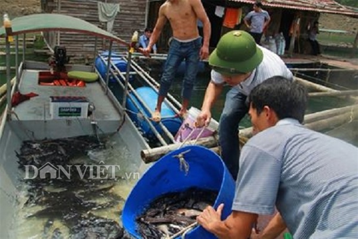 Từ trước đến nay, người dân lòng hồ đánh bắt các loài cá này bằng hình thức thả câu đêm. Cách đánh này tốn nhiều công sức, có lúc hàng trăm lưỡi câu thả qua đêm mới được vài chục con.