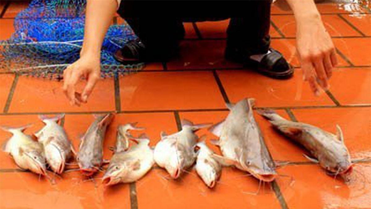 Cá ngạnh có thân trơn láng, không vảy, đầu dẹp bằng, thân và đuôi dẹp bên, có 4 đôi râu, mõm tù. Cá ngạnh có kích thước không lớn, thông thường dưới 1kg, những con có trọng lượng 3-4kg là rất hiếm.