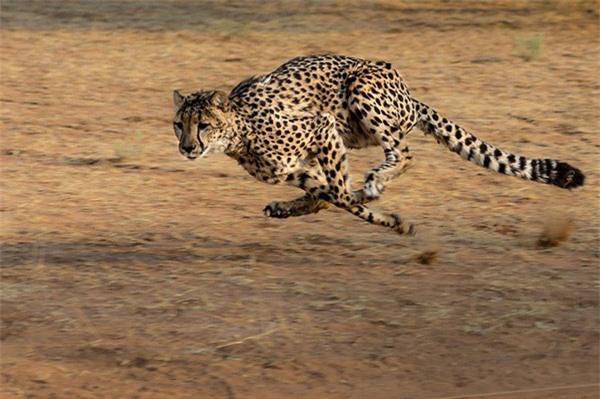Báo cheetah là loài động vật chạy nhanh nhất Trái đất với tốc độ chạy tối đa lên tới 115 km/giờ. Một con báo có thể tăng tốc từ 0 đến 96km/h trong vòng 3 giây và đạt tốc độ chạy tối đa trong vòng 60 giây.