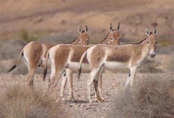 Với tốc độ chạy tối đa 70km/giờ, lừa hoang đứng cuối cùng trong danh sách 10 loài động vật chạy nhanh nhất Trái đất.