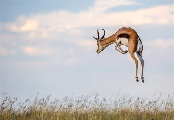 Linh dương nhảy - Springbok, với tốc độ chạy tối đa 100km/giờ, được coi là một trong những loài động vật nhanh nhất ở Nam Phi. Ngoài chạy nhanh, loài linh dương này còn có khả năng nhảy lên cao khoảng 4m.