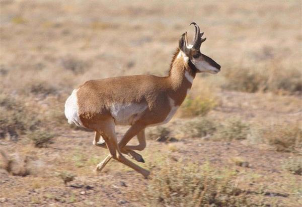 Linh dương sừng nhánh - Pronghorn. Đôi chân khỏe giúp loài linh dương này đạt tốc độ chạy tối đa 88,5km/giờ.