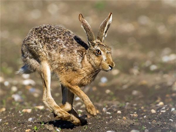 Khi bị kẻ thù săn đuổi, thỏ rừng châu Âu có thể đạt tới vận tốc tối đa là 77km/h. Thậm chí loài động vật này còn có thể chạy quay ngược lại mà không cần giảm tốc độ và nhảy lên cao khoảng từ 5-7m.