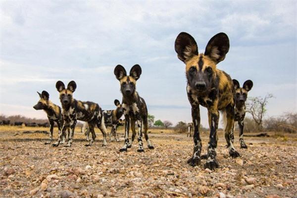 Với tốc độ chạy săn mồi siêu nhanh, tối đa 71km/giờ, chó hoang châu Phi là một trong những loài động vật chạy nhanh nhất trên Trái đất.