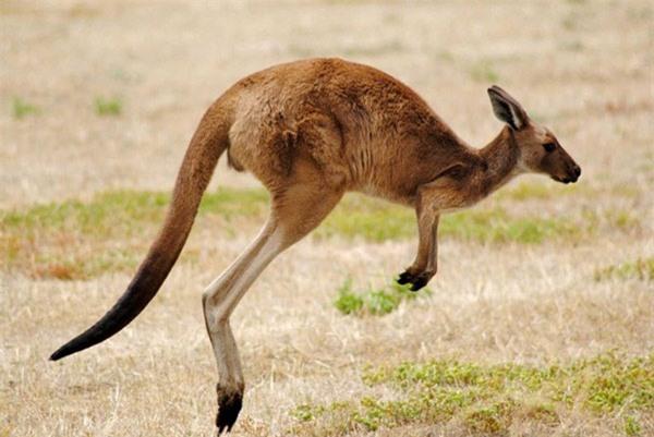 Thông thường một con chuột túi có tốc độ trung bình khoảng 26km/giờ, nhưng khi gặp nguy hiểm, nó có thể tăng tốc lên 71km/giờ. Kangaroo cũng chỉ cần 1,2 phút để vượt qua 2km với tốc độ 40km/giờ.