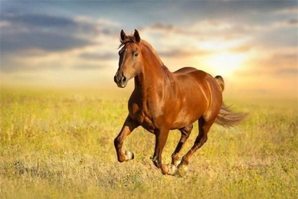 Vận tốc của ngựa có thể dao động từ 56-70km/h, tùy theo từng giống ngựa.