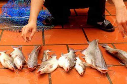 Hành trình săn loài cá dữ, giá nửa triệu đồng/kg chỉ có ở sông Đà