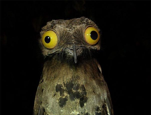 Sợ rồi ạ! (Chim Potoo: Loài chim có khuôn mặt sợ hãi mọi lúc mọi nơi)