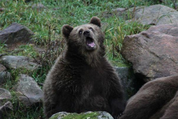 Tôi đi sở thú và chộp được cảnh gấu ngáp