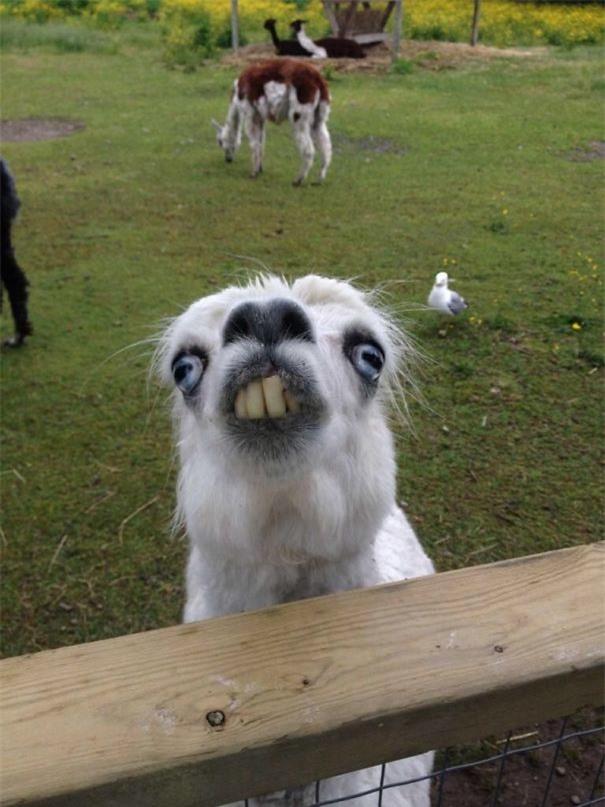 Một con lạc đà cừu mặt ngố trong sở thú