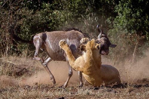 Cận cảnh săn linh dương đầu bò kịch chiến sư tử cái