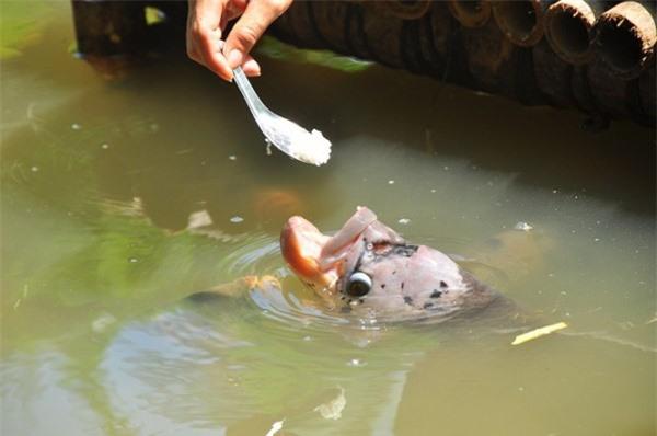 Kỳ lạ đàn cá tai tượng 30 năm ăn chay ở Cần Thơ