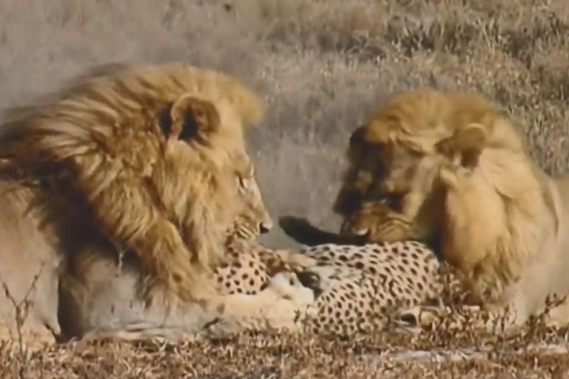 CLIP: 2 con sư tử hung dữ xé xác báo lớn để ăn thịt