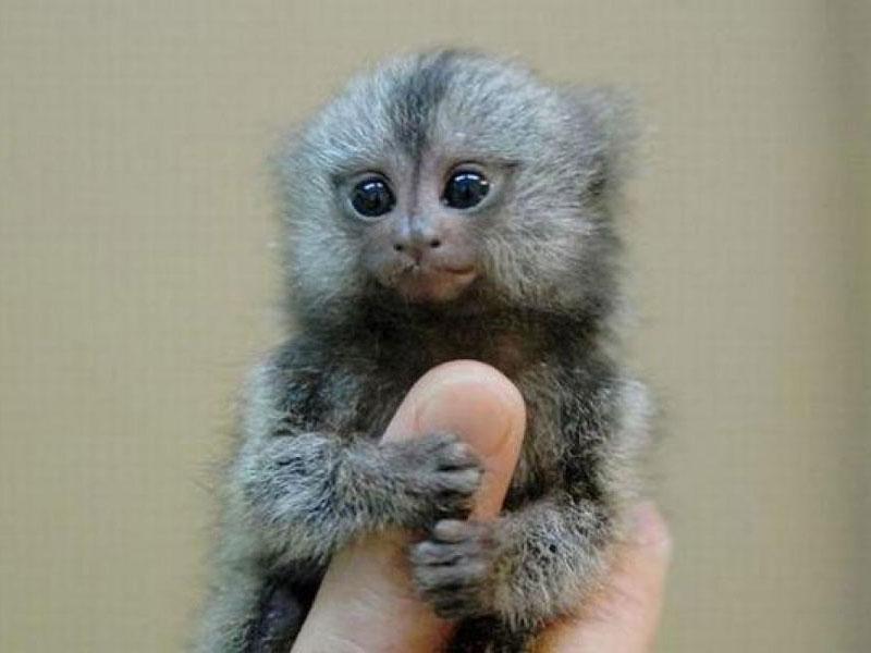 Khỉ đuôi sóc lùn hay còn gọi là khỉ Marmoset lùn là một loài khỉ đuôi sóc thuộc họ Callitrichidae, sinh sống chủ yếu tại rừng rậm Amazon của Nam Mỹ. Đây chính là loài khỉ nhỏ nhất thế giới khi một con trưởng thành chỉ có chiều dài từ 14-16cm và nặng từ 120-140 gram.