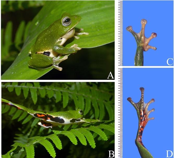 Zhangixalus jodiae ngoài tự nhiên (A & B), và chi trước và chi sau (C & D)