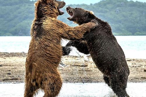 """Màn """"đấu quyền anh"""" kịch tính của hai chú gấu khổng lồ"""