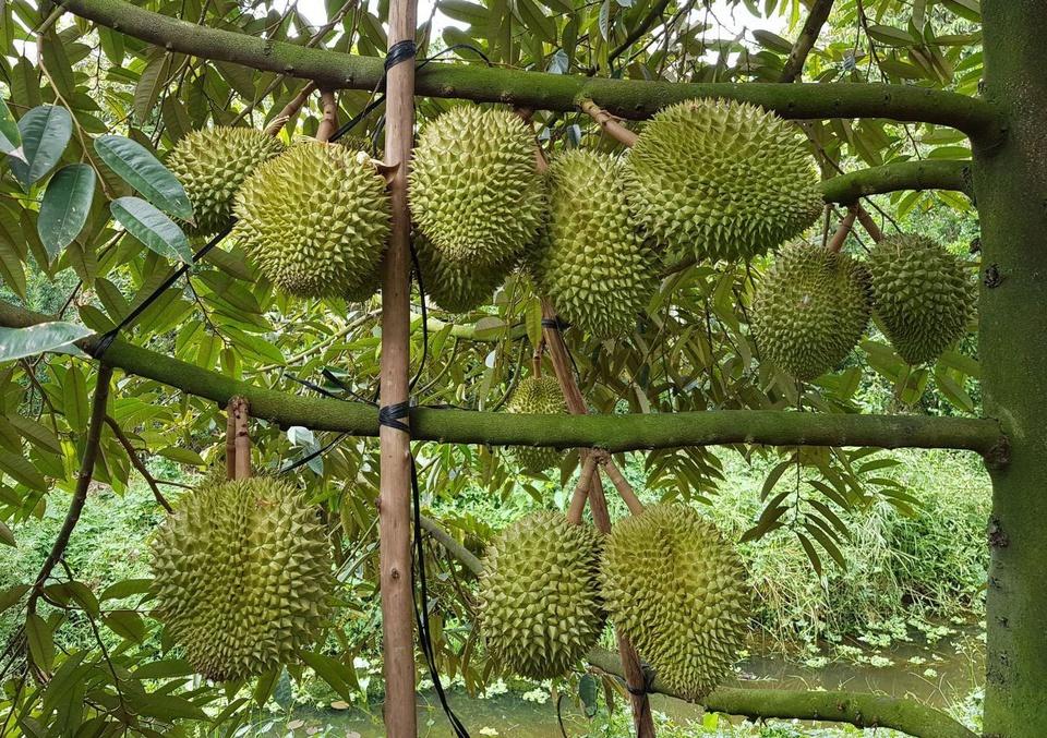 """Theo tư liệu của Trung tâm Chỉ dẫn địa lý và Nhãn hiệu quốc tế, trong địa danh """"Cái Mơn"""", Cái nghĩa là con rạch lớn, còn Mơn được đọc trại từ chữ Khmu trong tiếng Khmer, nghĩa là mật ong. Xưa, hai bên bờ sông rạch của vùng đất Cái Mơn có rất nhiều ong làm tổ, bởi đây là vùng đất của cây trái. Ảnh: Mekong Delta Explorer."""