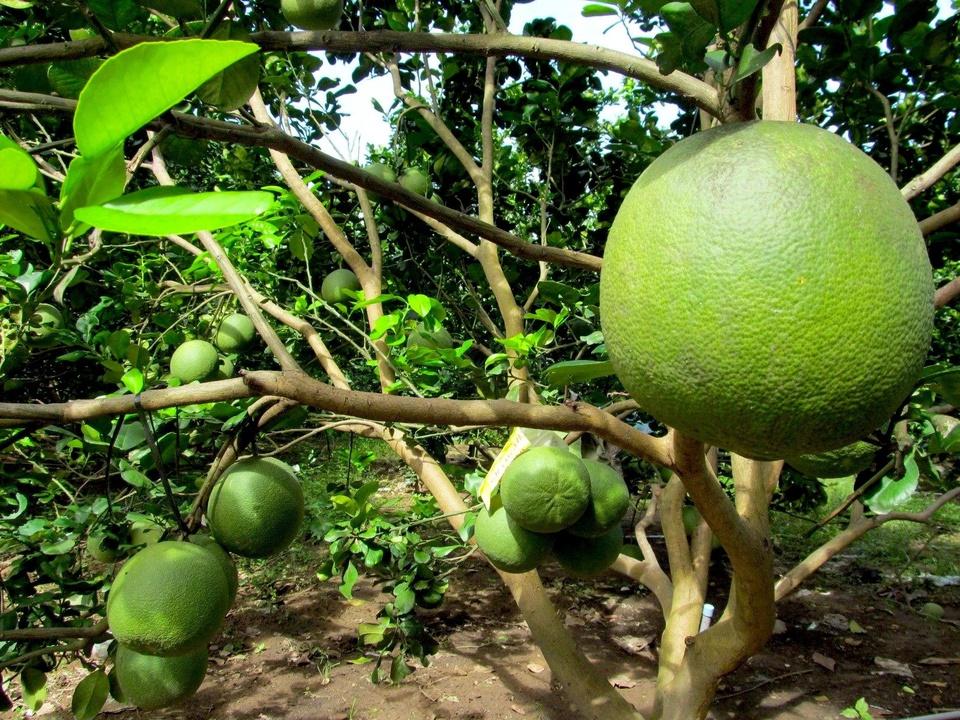 Bưởi da xanh Bến Tre là đặc sản nổi tiếng, nhiều người ưa chuộng. Loại trái cây này có vỏ màu xanh hoặc chuyển sang xanh hơi vàng khi chín, hơi nhám, múi màu hồng từ nhạt đến đậm, tép bó chặt, ngọt thanh... Ảnh: 10 Toàn Bến Tre.