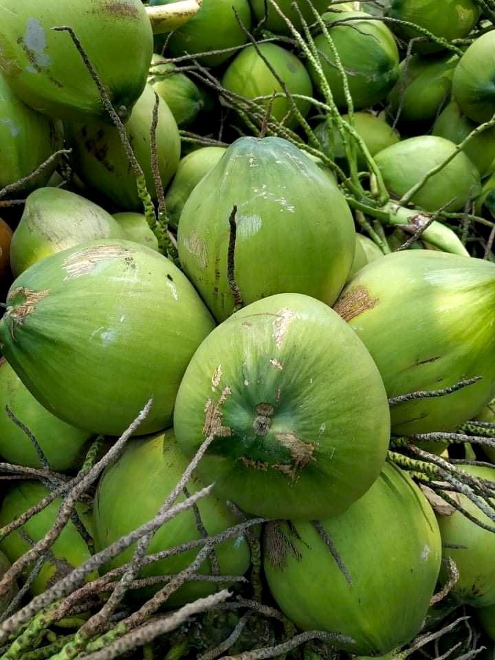 Là đặc sản dừa uống nước nổi tiếng, dừa xiêm xanh Bến Tre đã được bảo hộ chỉ dẫn địa lý. Đây là loại dừa có kích thước nhỏ, quả tròn, vỏ màu xanh, phần dưới quả có núm nhỏ 3 cạnh nhô ra, nước có vị ngọt thanh, không chua... Ảnh: Hải Liên.