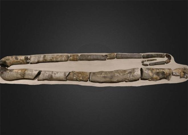 Trông giống như một chiếc kẹp giấy và có tuổi thọ lên tới 200 năm, tại sao loài mực này lại phát triển kỳ lạ như vậy? - Ảnh 6.