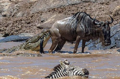 Cái kết cay đắng cho cá sấu tham lam