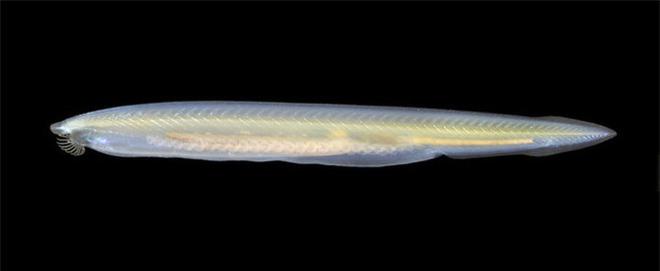 Không đầu, không tim, không xương, cá Văn Xương có thể tồn tại được suốt 500 triệu năm cho tới tận ngày nay - Ảnh 3.