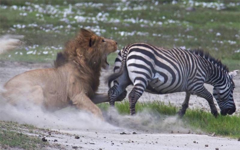 Chỉ ít phút sau khi truy đuổi chú ngựa vằn, con sư tử đực đã tiếp cận rất sát tới con mồi.