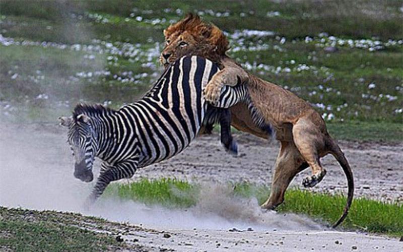 """Thế nhưng, chú ngựa vằn cũng chứng tỏ được nó không phải là một đối thủ dễ bị bắt nạt khi tung ra cú đá """"trời giáng"""" vào mặt con sư tử đực."""