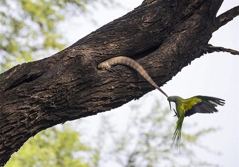 Nó lập tức dùng miệng kéo đuôi thằn lằn ra khỏi hốc cây nhằm tránh gây tổn hại cho đàn con nhỏ.
