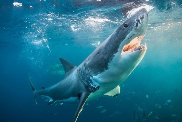 """Cá mập - """"sát thủ của biển cả"""" - đã gây ra nhiều vụ tấn công khiếp sợ đối với con người."""
