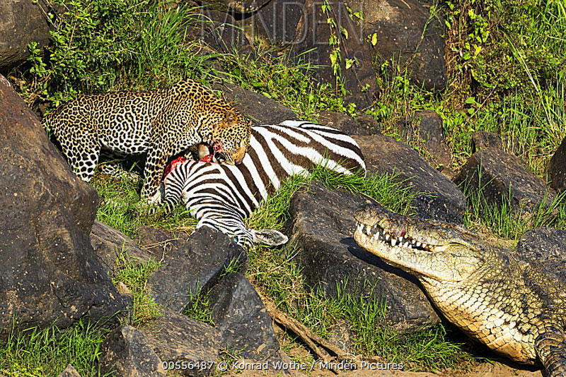 Hai kẻ săn mồi đáng sợ cùng nhau chia sẻ bữa ăn này. Hai kẻ săn mồi đáng sợ cùng nhau chia sẻ bữa ăn này.
