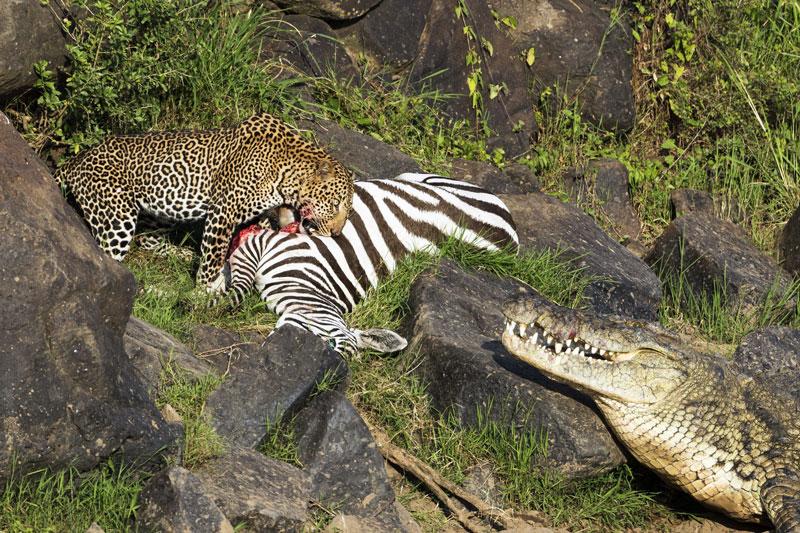 Ngựa vằn với thân hình to lớn đủ thoả mãn hai cái dạ dày đói của cá sấu và báo.