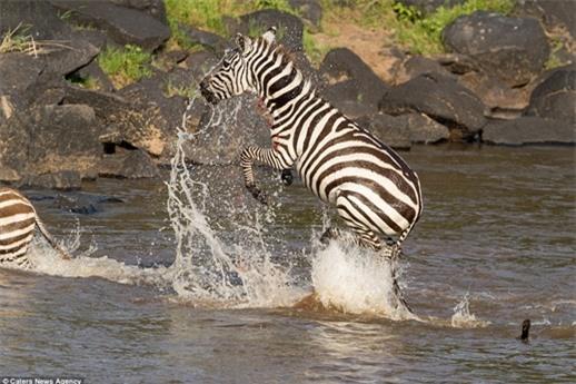 Rất may mắn và cố gắng, ngựa vằn mẹ cùng con đã thoát được hàm cá sấu dù rằng nó cũng bị kẻ săn mồi làm bị thương.