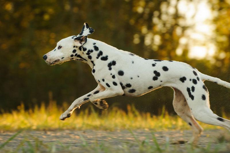 10. Chó đốm (vận tốc tối đa: 56 km/h).